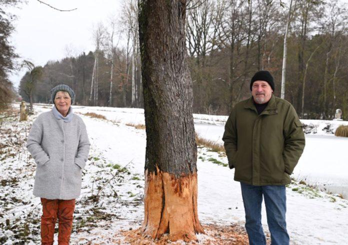 Oliver Breindl und Sigrid Schindler begutachten Biberspuren in Mühlhausen. Foto: Romir / Schäfer